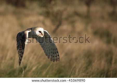 Barn Owl in flight. - stock photo