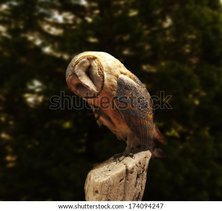 Barn owl on fence post near forest  - stock photo