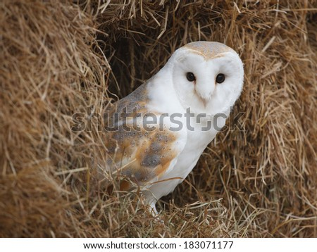 Barn Owl perched in a bale of straw - stock photo