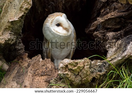 Barn Owl perched in tree trunk hollow/Barn Owl/Barn Owl (tyto alba) - stock photo