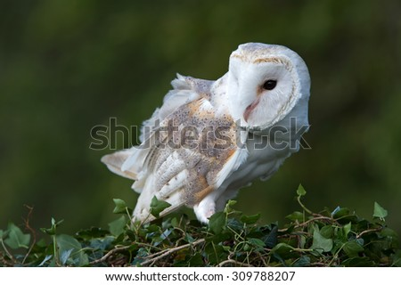 Barn Owl perched on ivy covered branch/Barn Owl/Barn Owl (tyto alba) - stock photo