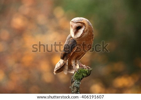 Barn Owl, photographed in the Czech Republic. A medium-sized species of owls. Found in Europe. - stock photo