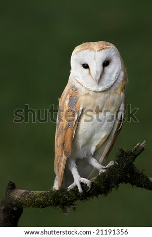 Barn owl posing on branch - stock photo