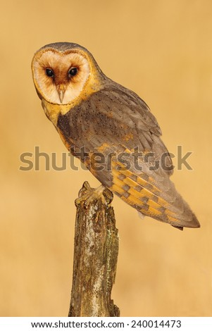 Barn owl sitting on tree stump at the evening with nice light and clear background  - stock photo