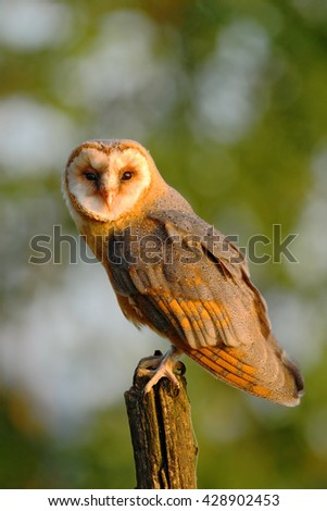 Barn owl sitting on tree stump at the evening with nice light and clear background. Wild bird in the nature habitat. Owl with evening sun during sunset. Owl with beautiful light. Owl in wildlife.   - stock photo