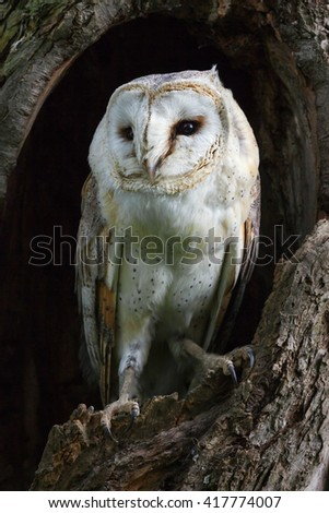 Barn Owl standing proud. A barn owl appears to take a lofty stance as it peers out from its perch in a tree trunk. - stock photo