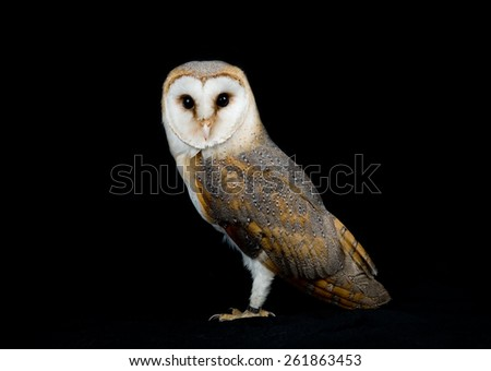 Barn owl studio portrait (Tyto Alba) - stock photo