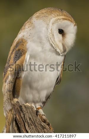 barn owl, studio portrait with blurred background - stock photo