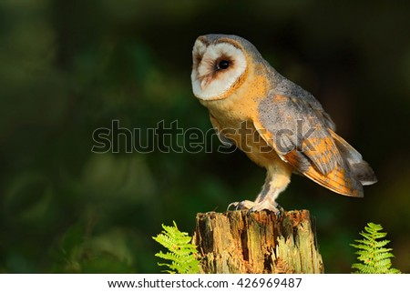 Barn owl, Tito alba, nice bird sitting on stone fence in forest cemetery with green fern, nice blurred light green the background, animal in the habitat, United Kingdom. Owl in the forest. - stock photo