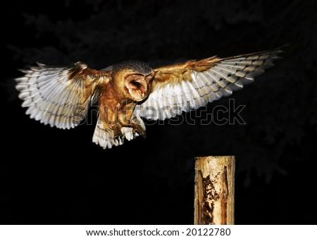 Barn Owl (Tyto alba) - stock photo
