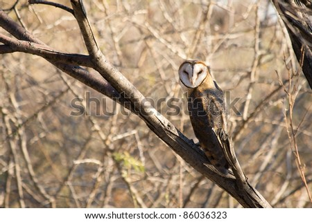 Barn Owl, Tyto alba (latin) - stock photo