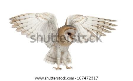 Barn Owl, Tyto alba, 4 months old, flying against white background - stock photo
