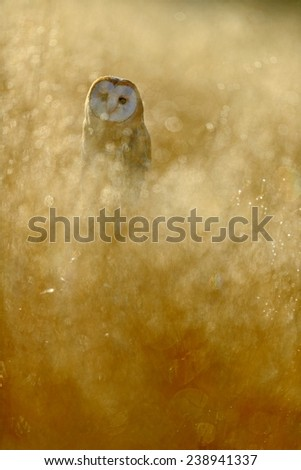 Barn owl with yellow grass in nice early morning light sun  - stock photo