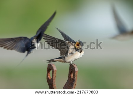 Barn swallow begging for food - stock photo
