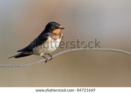 Barn Swallow (Hirundo rustica) - stock photo