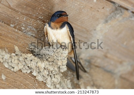 Barn swallow (Hirundo rustica) Perched on a Partially Built Mud Nest in a Barn - Texas - stock photo