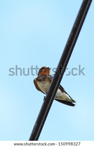 barn swallow ( hirundo rustica ) standing on an electric cable - stock photo