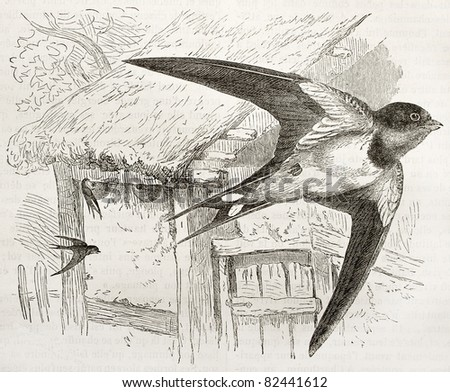 Barn Swallow old illustration (Hirundo rustica). Created by Kretschmer and Jahrmargt, published on Merveilles de la Nature, Bailliere et fils, Paris, 1878 - stock photo
