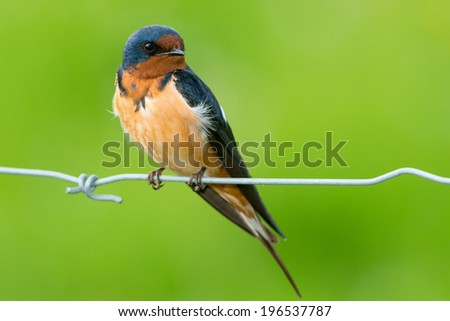 Barn Swallow perched on a page wire fence. - stock photo