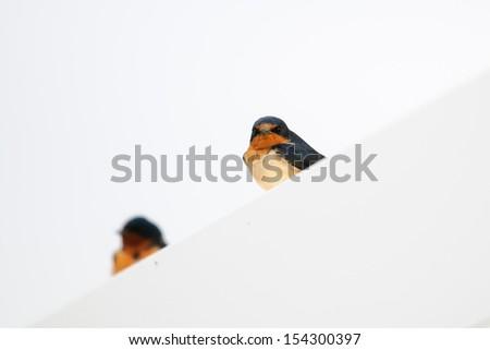 Barn Swallow Perched on a sign, Grasslands National Park Saskatchewan Canada - stock photo