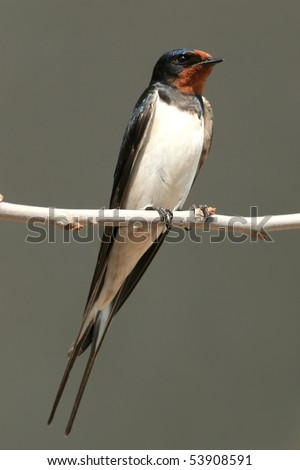 Barn swallow  perched on a twig, close-up - stock photo