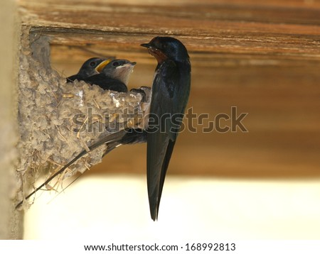 Barn swallow perched on his nest with little swallows - stock photo
