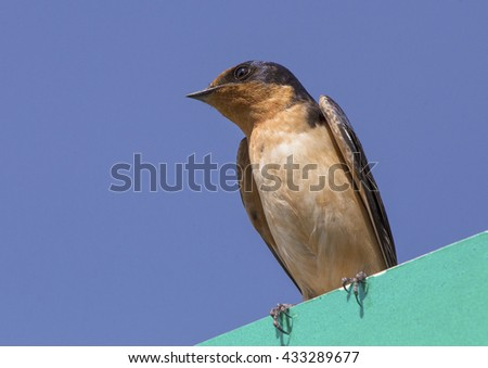 Barn Swallow perched on street sign - stock photo