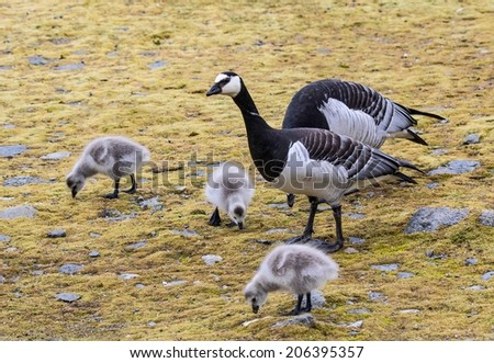 Barnacle geese with chicks on Arctic tundra - stock photo