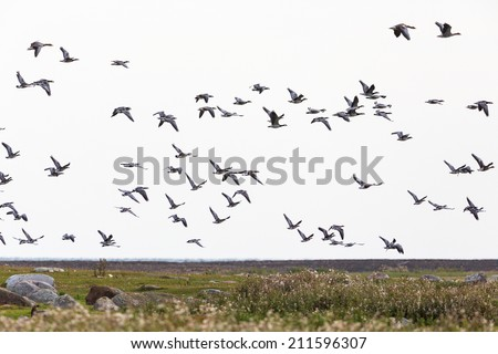 Barnacle goose flying over land - stock photo