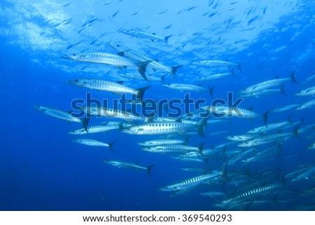 Barracuda fish in blue water - stock photo