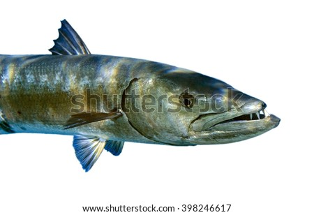 Barracuda isolated on a white background - stock photo