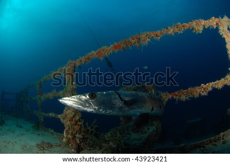 Barracuda looking at diver - stock photo