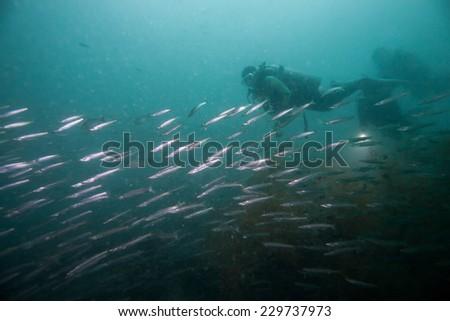 Barracuda swimming around the world war II shipwreck in Coron area, Palawan, Philippines. - stock photo