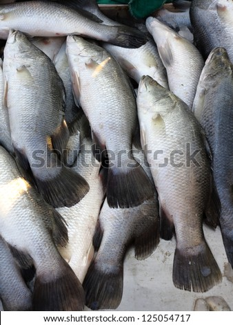 Barramundi fish in the Thailand Market - stock photo