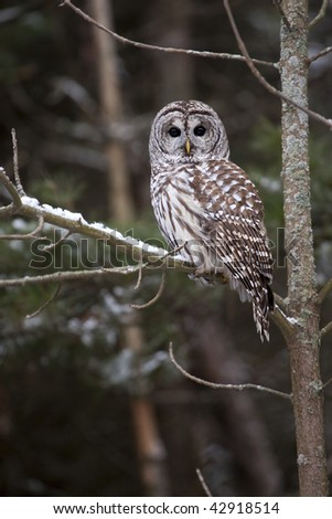 Barred Owl against blurred natural background. - stock photo