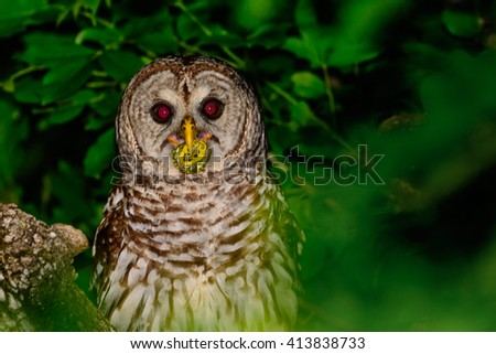 Barred Owl Perched in a Tree With a small Turtle In its Beak - stock photo