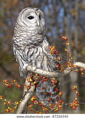 Barred Owl sitting on a twisted branch with bittersweet berries on a beautiful autumn day. - stock photo