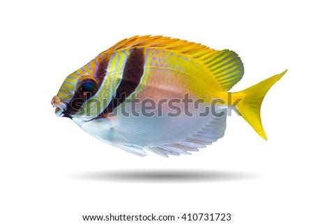 Barred Rabbitfish (Siganus doliatus) Also known as Spinefoots,Barred Spinefoot, Doliatus Foxface Fish, Pencil-streaked Rabbitfish,Pencil-streaked Spinefoot, Blue-lined Rabbitfish, Blue-lined Spinefoot - stock photo