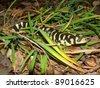 Barred Tiger Salamander, Ambystoma mavortium, giant bright yellow and black salamander of North America - stock photo