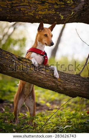 Basenji dog - stock photo