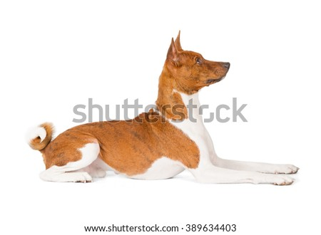 Basenji dog isolated on white background. Side view, laying - stock photo