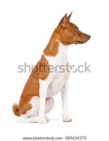 Basenji dog isolated on white background. Side view, sitting. - stock photo