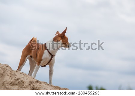 Basenji dog looking into the distance - stock photo