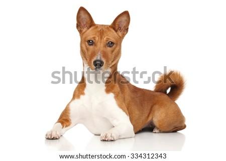 Basenji dog lying down on a white background - stock photo