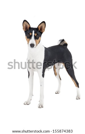 """Basenji dog or African Nela (as well as the Congolese bush dog, wild dog of Congo, Congo-terrier, Nyam-Nyam-terrier dog Zande, """"being out of the brush"""") - stock photo"""