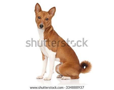 Basenji dog posing on white background - stock photo