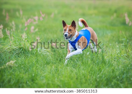 Basenji dog running on lure coursing competition - stock photo