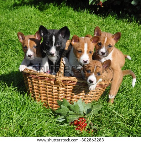 Basenji dogs puppy in the basket - stock photo
