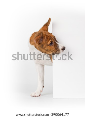 Basenji puppy isolated on white background. Side view, peek out - stock photo