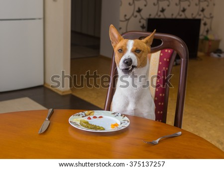 Basenji shows grimace of dissatisfaction sitting at the dinner table and  waiting for master-waiter would be more quicker in service - stock photo